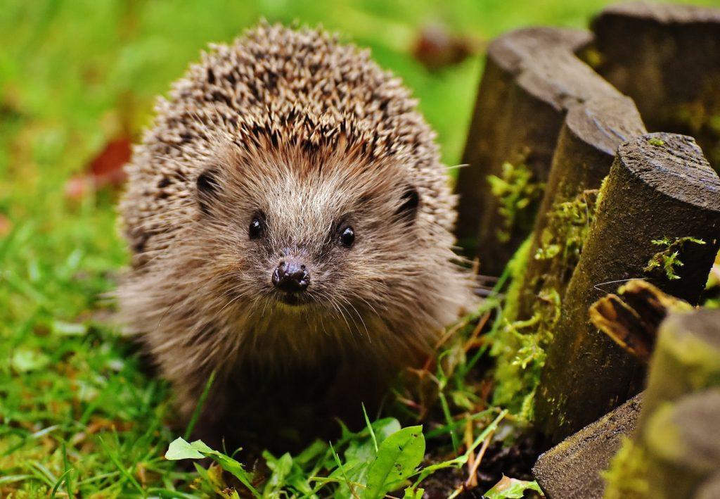 Hedgehogs a gardener's best friend